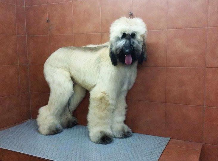 Mi galgo afgano DJOKO en la peluquería canina IRU de Barcelona