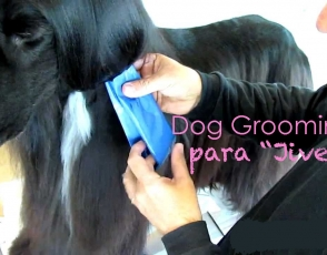 jive-afghan-hound-Dog-grooming